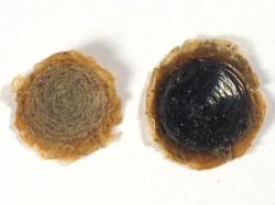 curvo córneo tetas pequeñas