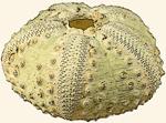 Diadematidae