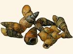 Hydrobiidae