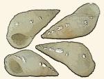 Zebinidae