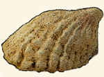 Hipponicidae