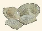 Eulimidae