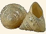 Calliotropidae