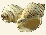 Pseudolividae