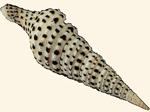 Turridae