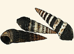 Batillariidae