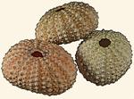 Echinometridae
