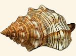 Fasciolariidae