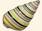 Orthalicidae