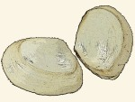 Semelidae