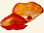Terebrataliidae