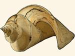 Raphitomidae