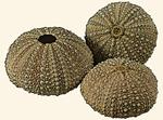 Parechinidae