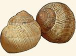 Helicidae