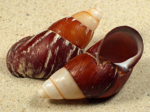 Chrysallis rollei 5+cm