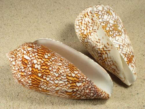 Conus textile 8+cm