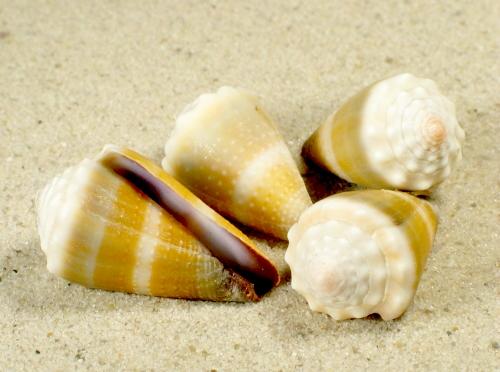 Conus lividus 2,5+cm