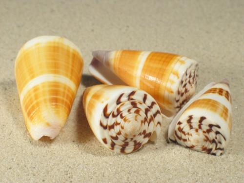 Conus planorbis 3,7+cm
