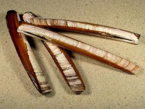 Ensis magnus FR-Ärmelkanal 13+cm
