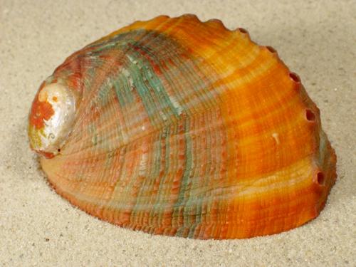 Haliotis assimilis 2-farbig MX 8+cm