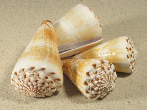 Conus distans PH 5,5+cm