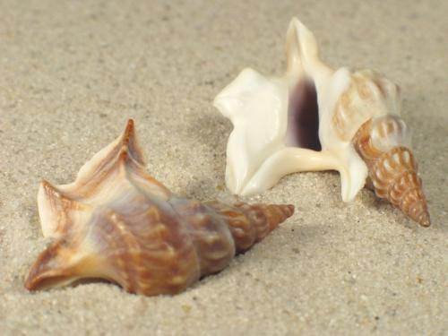 Aporrhais pespelecani DK 3+cm