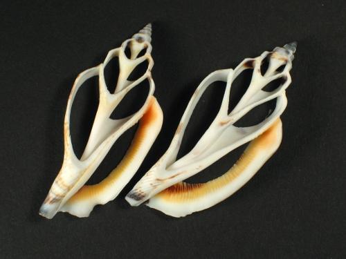Canarium urceus Gehäuseschnitt 3,5+cm