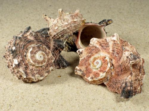 Angaria delphinus dunkel 3+cm