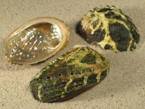 Haliotis varia grün 4+cm