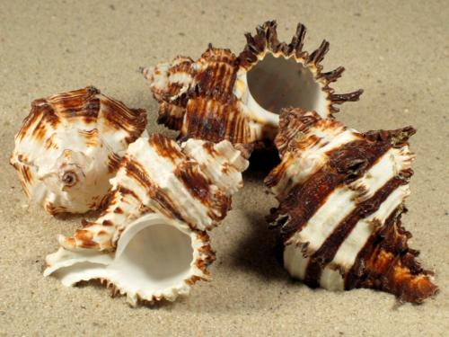 Hexaplex cichoreum 7+cm