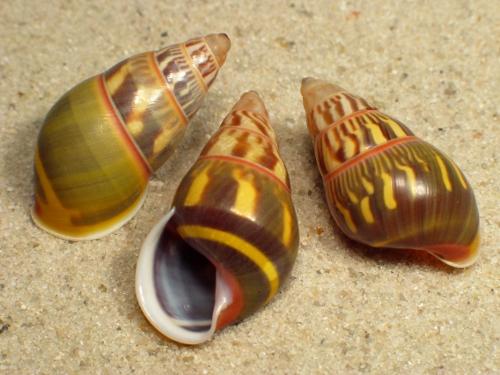 Amphidromus versicolor 2,8+cm