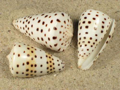 Conus eburneus 4+cm