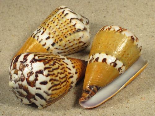 Conus capitaneus 5+cm