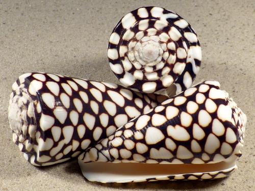 Conus marmoreus PH 7+cm