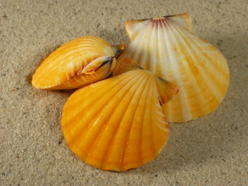 Bractaechlamys vexillum orange 3,5+cm
