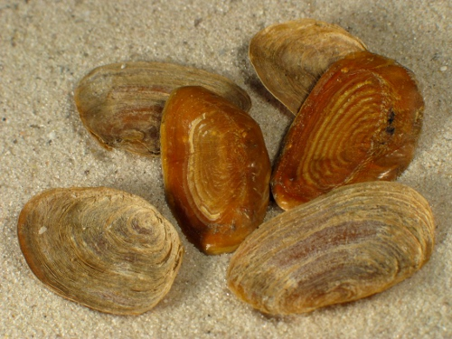 Buccinum undatum Operculum 2+cm