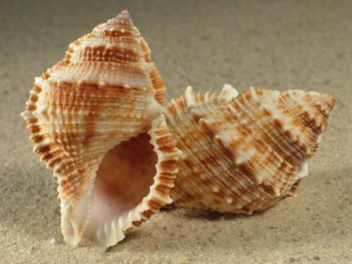 Bufonaria rana 7+cm
