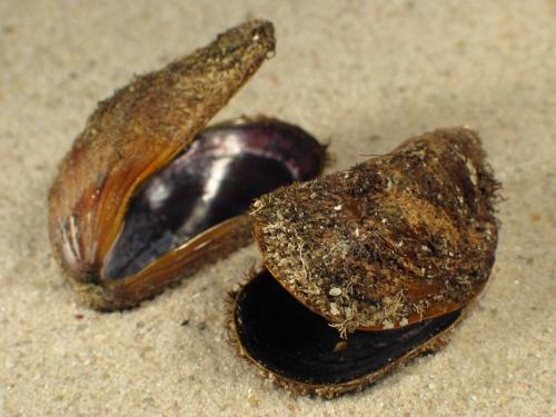 Modiolus barbatus HR 3,5+cm