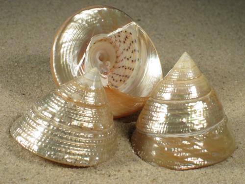 Trochus maculatus Perlmutt PH 4,5+cm