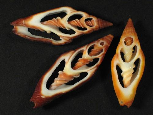 Vexillum vulpecula Gehäuseschnitt 3+cm