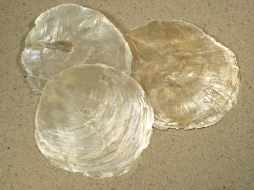 Placuna placenta PH 1/2 7+cm (x3)