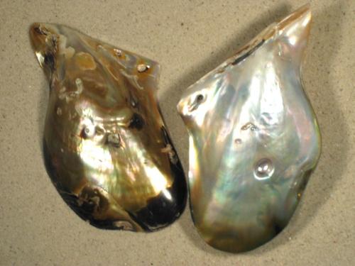 Pteria penguin Perlmutt m/Perle PH 1/2 10+cm