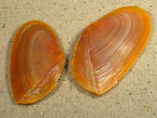 Phylloda foliacea PH 6,2+cm