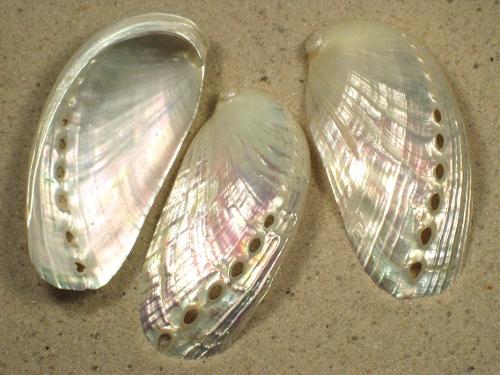 Haliotis asinina Perlmutt 5,5+cm
