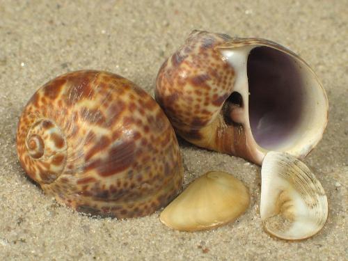 Natica hebraea m/O FR-Mittelmeer 2+cm