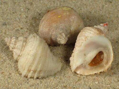 Coralliophila brevis m/Op FR-Mittelmeer 1,3+cm