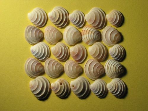 Weiße Kronen-Venusmuschel 1/2 1,5-2,5cm (x20)