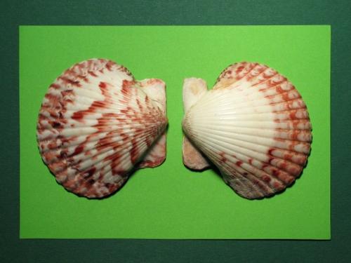 Mexikanische Kamm-Muschel rot-weiß 5-6,5cm (x2)