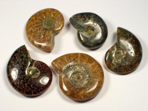 Kleiner Ammonit Kreide MG 2+cm
