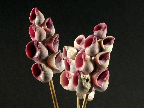Violetter Korallenfreund (x7)